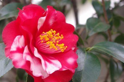凛と咲く椿