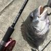 シーバスロッドで黒鯛ヘチ釣り【ヘチ竿とルアーロッドの違い】動画有