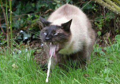 Отравление крысиным ядом у кошек симптомы и лечение