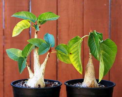 Ficus De Gantel Bakim Ureme Ve Transplantasyon Konusunda Tavsiyeler Evde Farkli Ficus Turlerinin Bakimi Ficus De Dambil Evde Bakim
