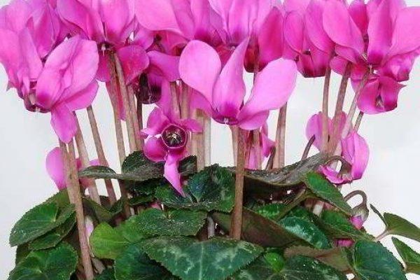 Цветы комнатные цветущие фото и названия домашних растений