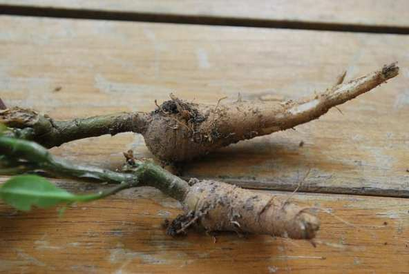 6 Surprising Health Benefits of Ginseng