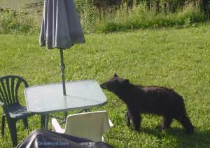 black bear cub at patio table