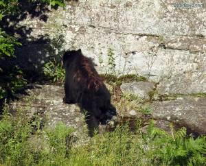 black bear cub climbing rocks