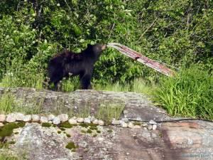 black bear cub sniffing plow handle