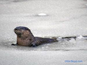 otter on ice in pond