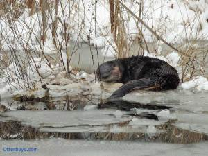 otter sleeping in snow