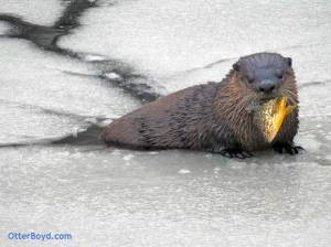 otter with fish in frozen pond