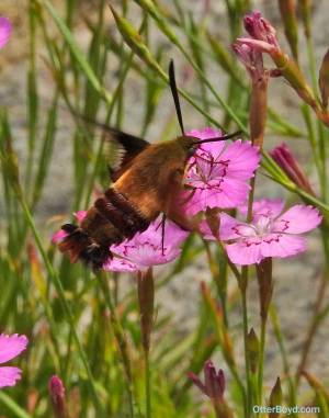 hummingbird clearwing moth hovering over flower