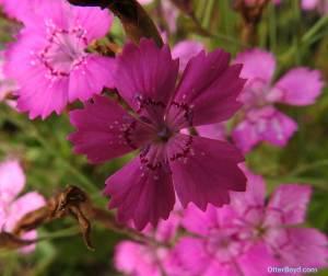 maiden pink flower Dianthus deltoides