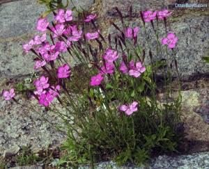 maiden pink flowers Dianthus deltoides