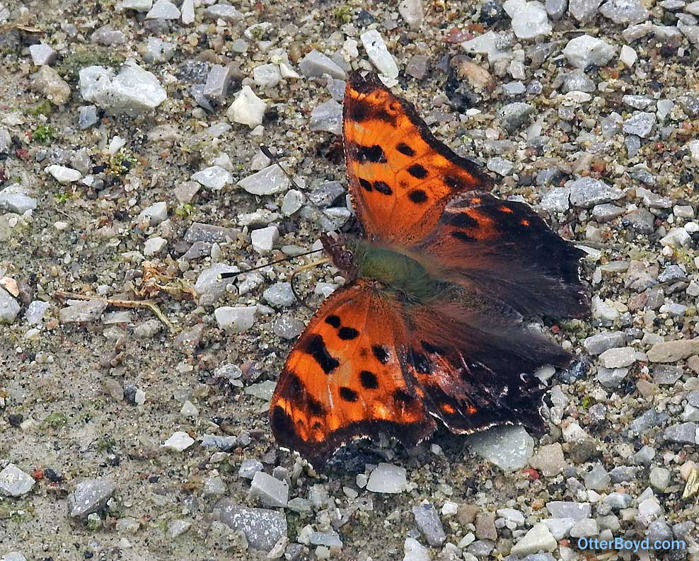 orange butterfly with brown spots Eastern Comma Polygonia comma