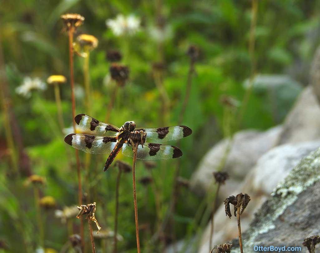 twelve spotted skimmer dragonfly Libellula pulchella