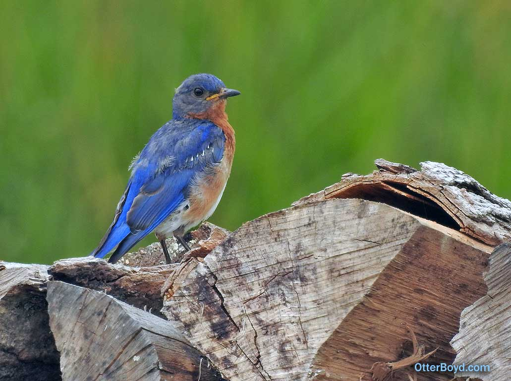 Eastern Bluebird perched on wood pile