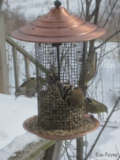 American Goldfinches at Gale's feeders
