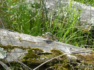Leopard Frog jumping off a log