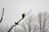 Bald Eagle and Raven