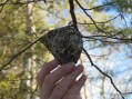 A Red-eyed Vireo nest