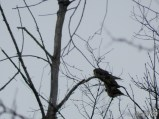 A stick of Mourning Doves