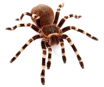 tarantula-hakkindaki-gercekler