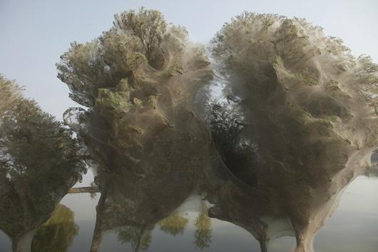 Во время сильного наводнения в Пакистане, пауки укрывались на деревьях. Им так долго пришлось на них сидеть, что в результате получились вот такие паучьи дома.