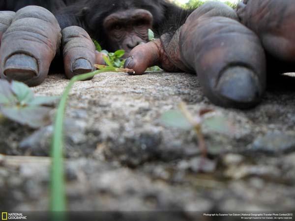 Любопытный шимпанзе.