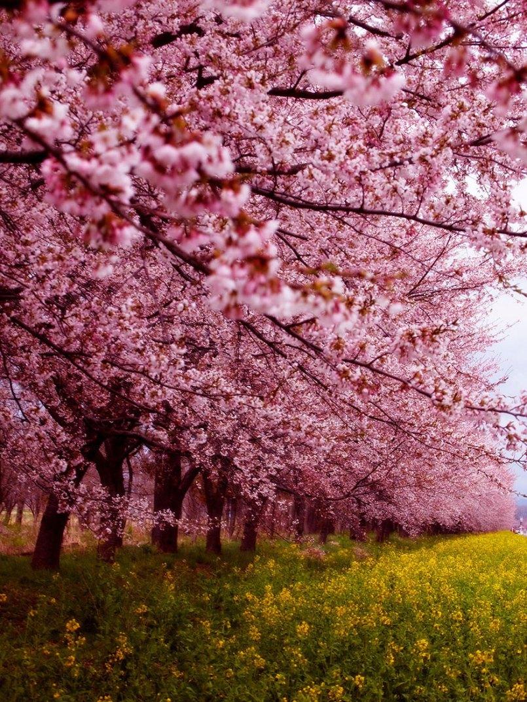 цветущая сакура на кладбище