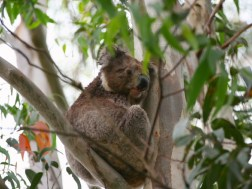 how-much-can-a-koala-bear
