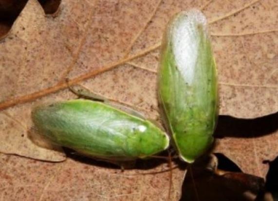 банановый таракан