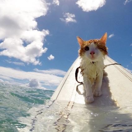 Un chat avec un seul oeil qui aime surfer