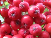 different red berries this time... I think they's mountain ash... rowan?