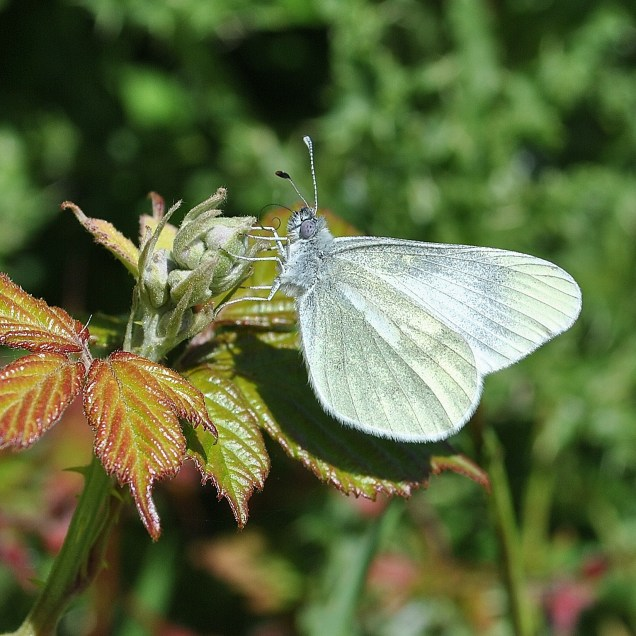 Cryptic Wood White, note the rounded wings