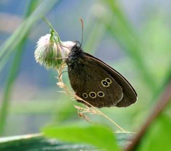 Ringlet along the Royal Canal