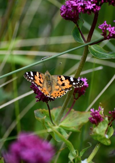 Painted Lady, on North Bull Island