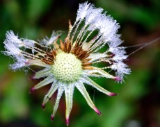 There's beauty to be had anywhere, if you look hard enough!! Dew sprinkled dandelion... well, what's left of it!