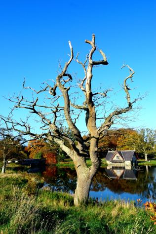 Old oak at Carton House... the boathouse and bridge in the background... happy autumn day!