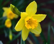 """016 - January daffs! True... I kid you not!!"