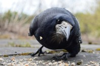 What do you want mister?? Low level view of our friendly crow... not so friendly crow... nicking the little birds' food!