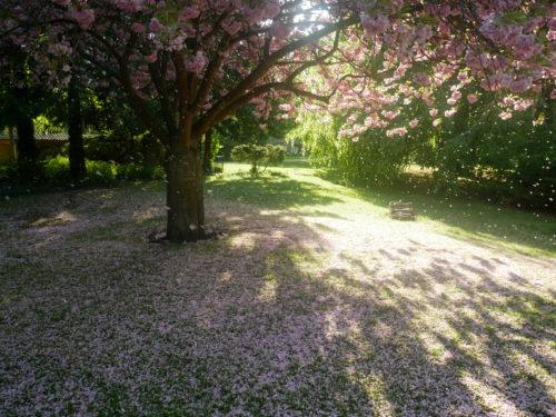 Cerisiers en fleurs Copenhague