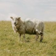 sheep on grassfield