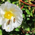 Bees in a large matilija bloom on our Saratoga hillside.