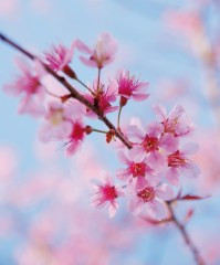 A branch full of pink blossom