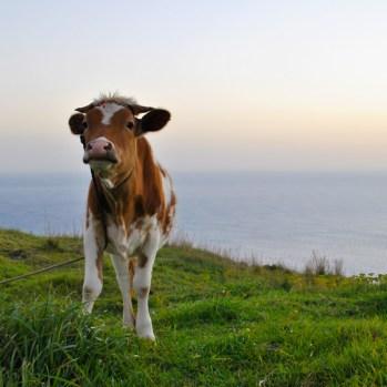 Kalb auf Madeira