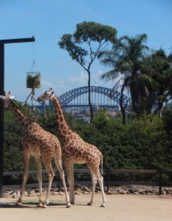 The giraffe enclosure the Sydney Harbour background
