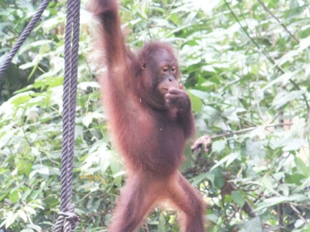 Another younger orang-utan out on the feeding platform.