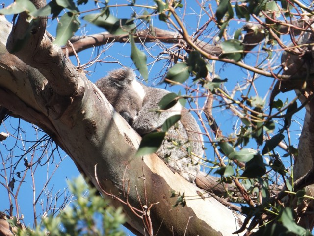 Another sleep koala, there were loads of them