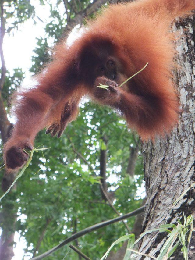 Singapore Zoo orangutans