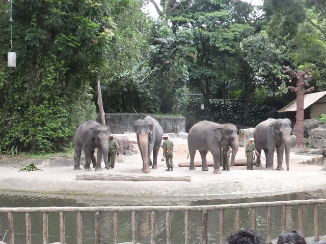 Singapore Zoo, elephants