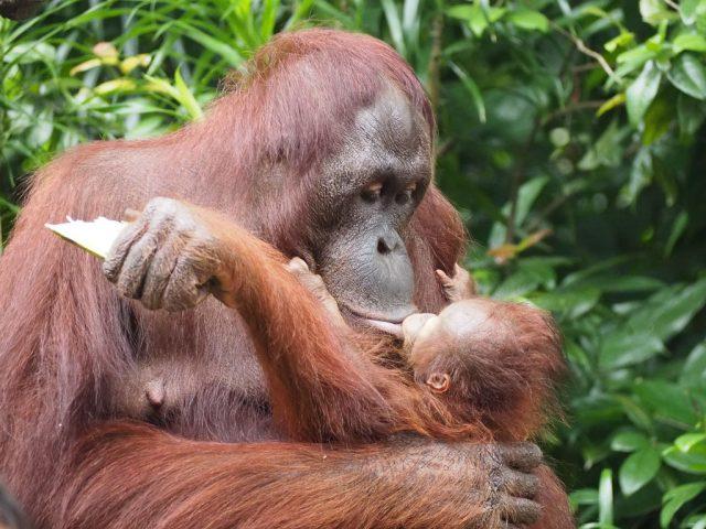 Orangutan kissing baby