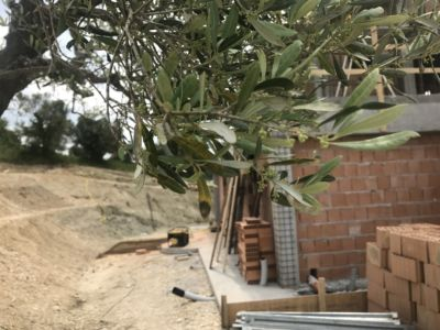 Baby Olives  at site of a new house being built in Le Marche, Italy